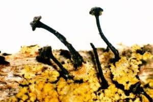 zwart boomspijkertje